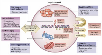 Therapeutic Effect of Aging Stem Cells - Journal of Stem Cell Research